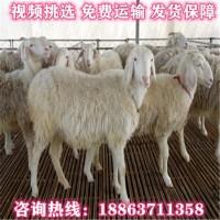 出售小尾寒羊 绵羊羔 小羊仔 头胎怀孕母羊 小尾寒羊种公羊