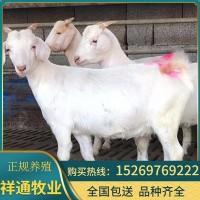 现货供应美国白山羊 养羊基地销售优质白山羊肉羊活羊羊羔