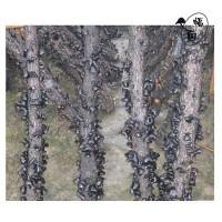 富菌原木段木优良黑木耳菌种 原种给技术资料