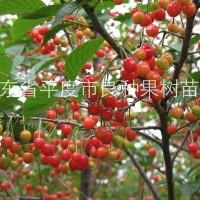 青岛供应 大青叶实生大樱桃苗 车厘子苗 矮化大樱桃苗