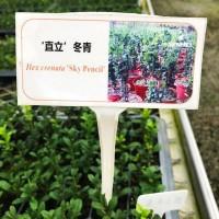'直立'冬青小苗大苗绿植盆栽家庭阳台园艺育苗批发