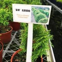 北美香柏育苗绿植盆栽家庭阳台园艺批发