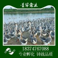 湖南衡阳新华禽畜大量供应 小种灰鹅出壳苗