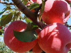 优质红苹果品种有哪些?