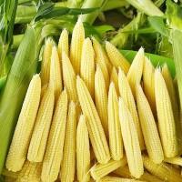 迷你小玉米笋9斤包邮产地直发即食水果玉米广西农家自种现摘新鲜