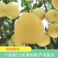 现摘陕西蜜梨应季新鲜水果5斤 脆甜酥脆多汁爽口冰糖雪梨产地直发
