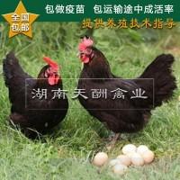 厂家供应 土鸡苗 正宗原生态 散养土鸡苗 草鸡苗 全国发货