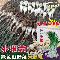 小根蒜种子小根蒜籽大蒜籽蒜苗种子蔬菜种子批发菜种菜籽种子公司