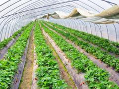 草莓放在大棚应该怎样种植?