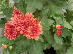 大花型的菊花品种有哪些?